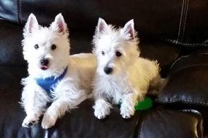 two small white dogs sitting on couch